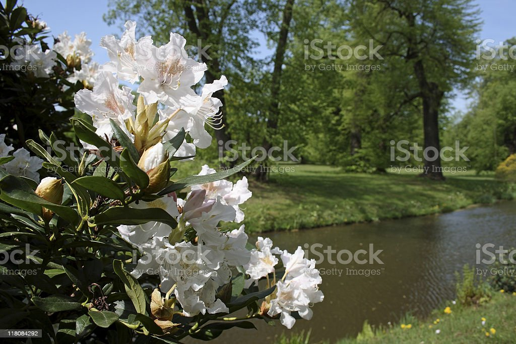 Rhododendron in the Park stock photo