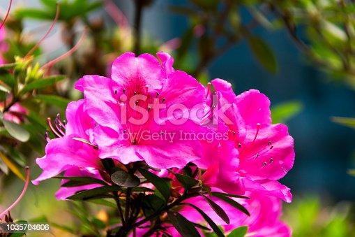 Rhododendron indicum Azalea indica, pink azalea in bloom, organic garden.