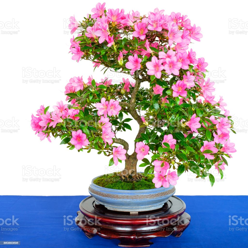 Rhododendron Indicum Bonsai Tree With Pink Flowers Stock Photo