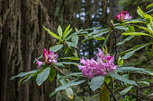 Purple Rhododendron Flowers with a blurred green background.