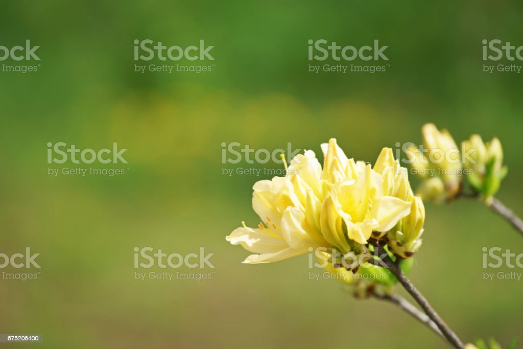 Rhododendron molle subsp. Japonicum royalty-free stock photo