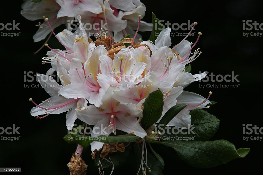 Rhododendron on Black Background stock photo
