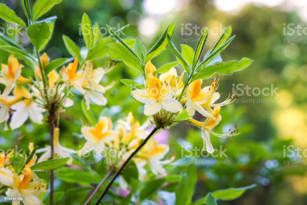 Rhododendron or azalea blooming flowers in the spring garden, nature background stock photo