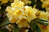 Sunlit yellow Rhododendron flowers