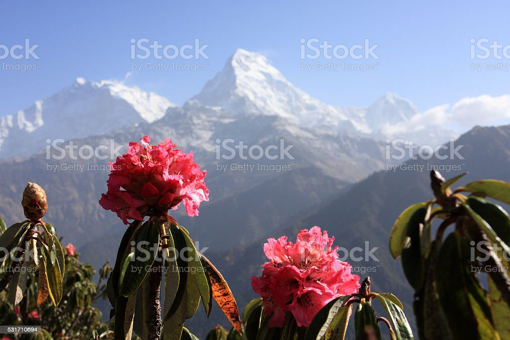 Rhododendron – Foto