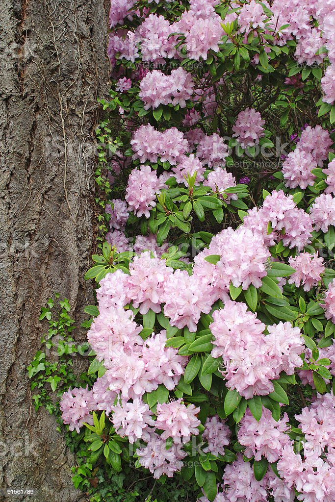 Rhododendron royalty-free stock photo