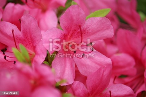 Rhododendron Stock Photo & More Pictures of Beauty In Nature