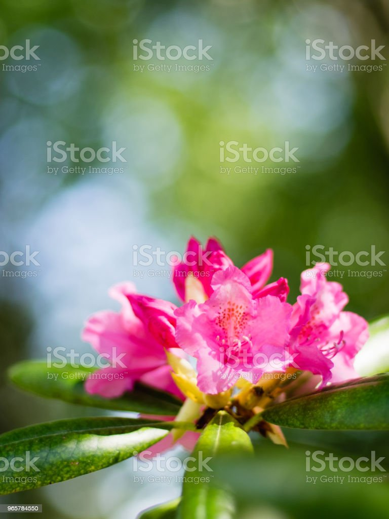 Rhododendron, fleurs roses - Royalty-free Beauty Stock Photo