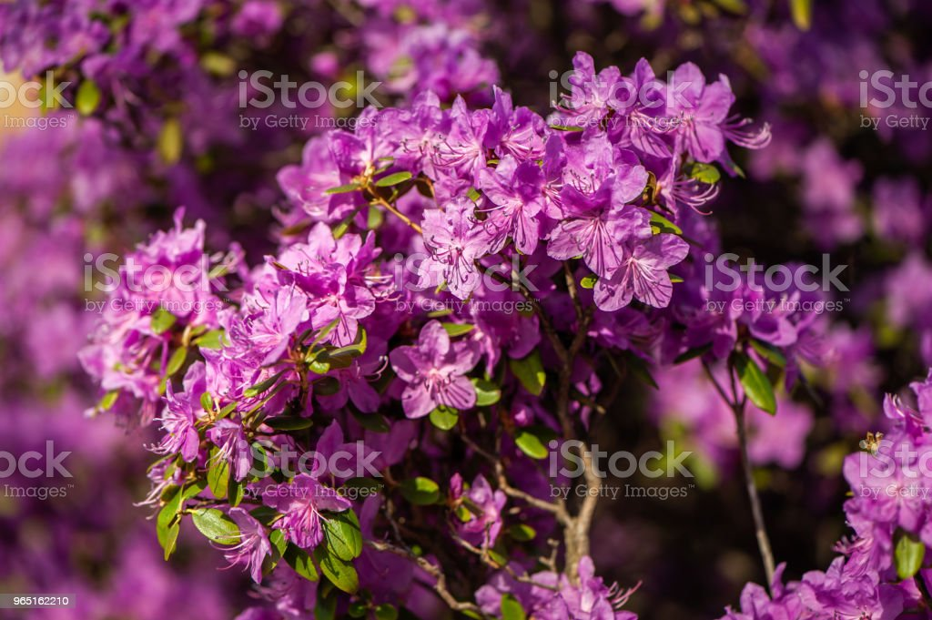 Rhododendron pink , lilac flower fresh blooming . pattern, flower royalty-free stock photo
