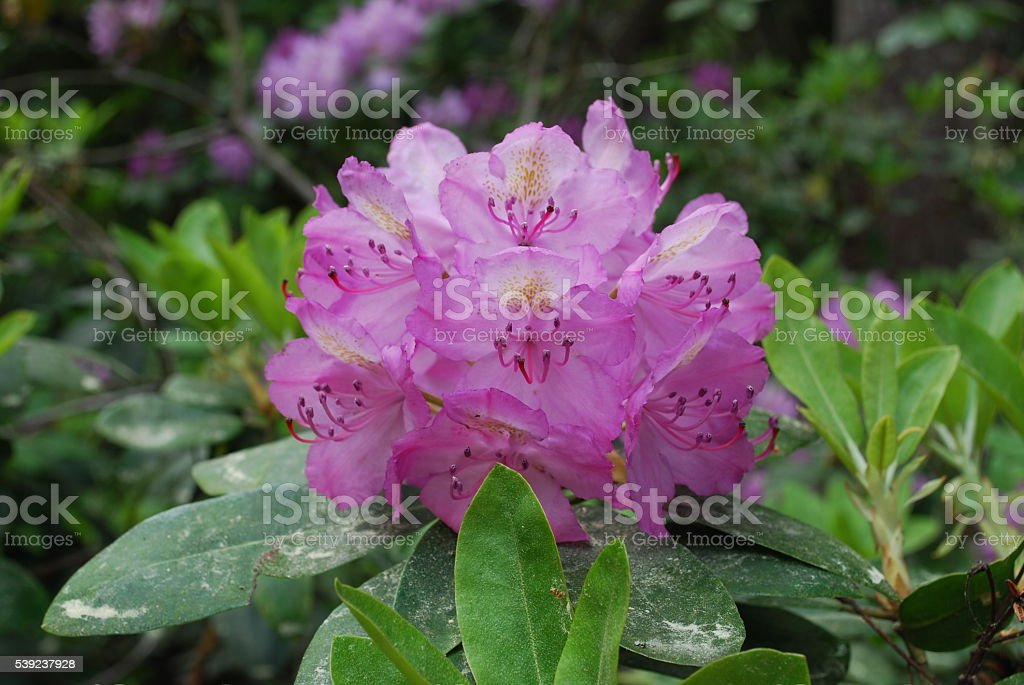 Rhododendron plant blossom, pink flowers. royalty-free stock photo