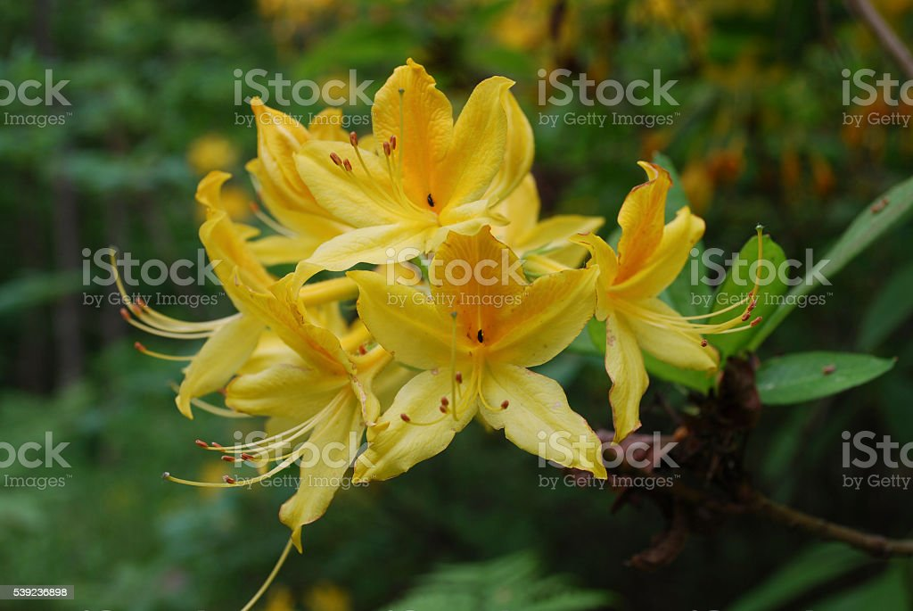 Rhododendron plant blossom, yellow flowers. royalty-free stock photo