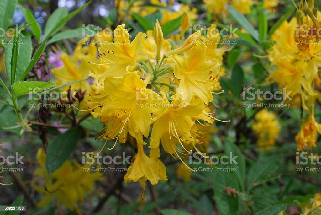 Rododendro planta flor, amarillo flores. foto de stock libre de derechos
