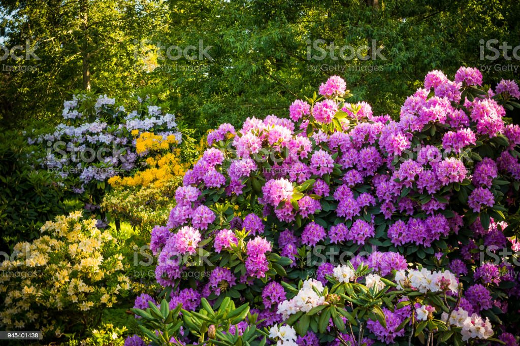 Rhododendron Pflanzen in voller Blüte mit Blumen in verschiedenen Farben. Azalea Sträucher im Park mit verschiedenen Blütenfarben. Rhododendron Pflanzen in voller Blüte – Foto