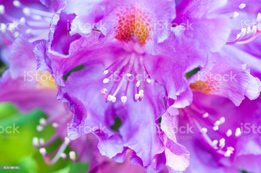 Rhododendron 'Purple Heart' – Foto