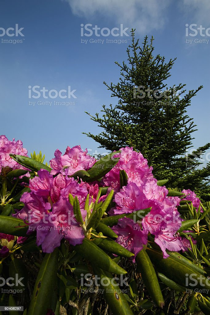 Rhododendron, Round Bald, TN-NC stock photo