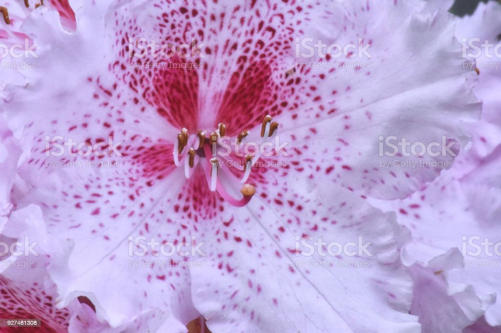Rhododendron wardii flower stock photo