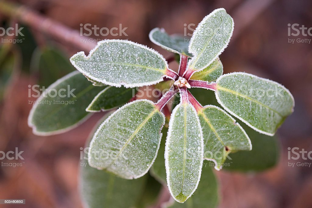 Rhododendron with frosted leaves in winter stock photo