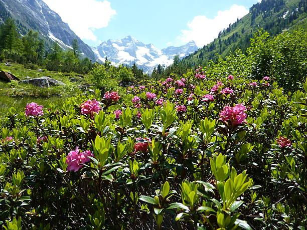 rhododendron mit glacier im Hintergrund – Foto