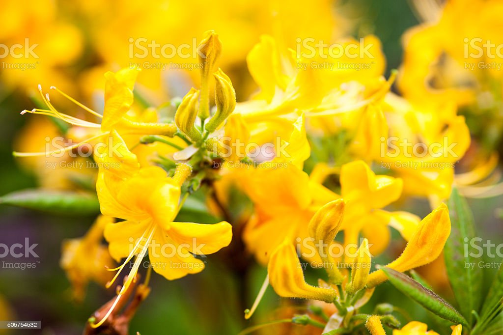 Rhododendron Yellow Flowers Stock Photo Download Image Now Istock