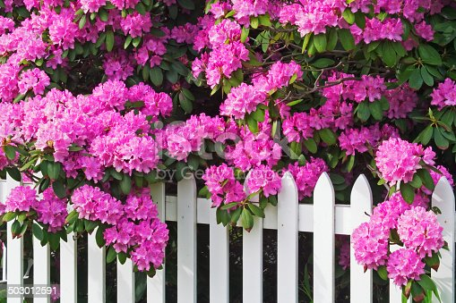 Rhododendrons and Picket Fence in the Smoky Mountains National Park, Tennessee, USA