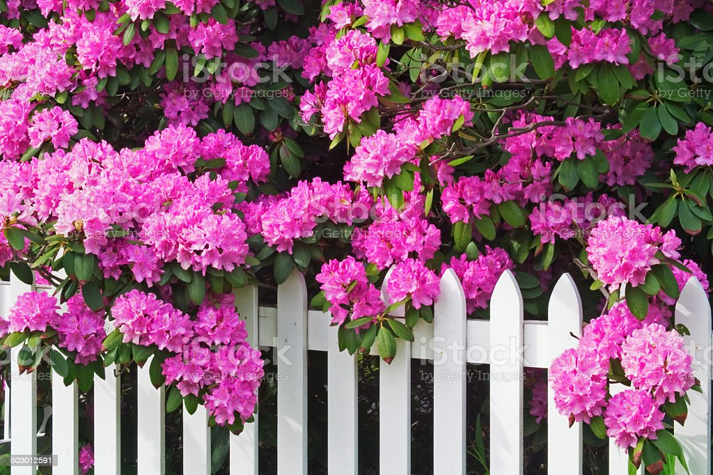 Rhododendrons and Picket Fence stock photo