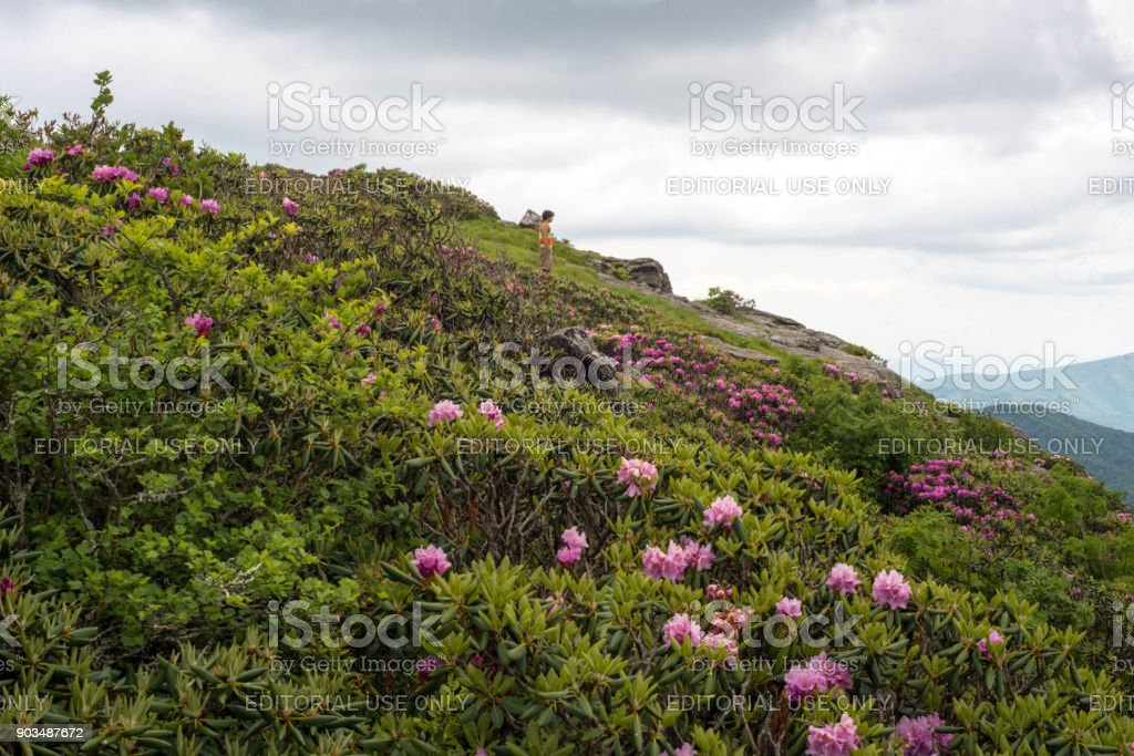 Rhododendrons in bloom stock photo