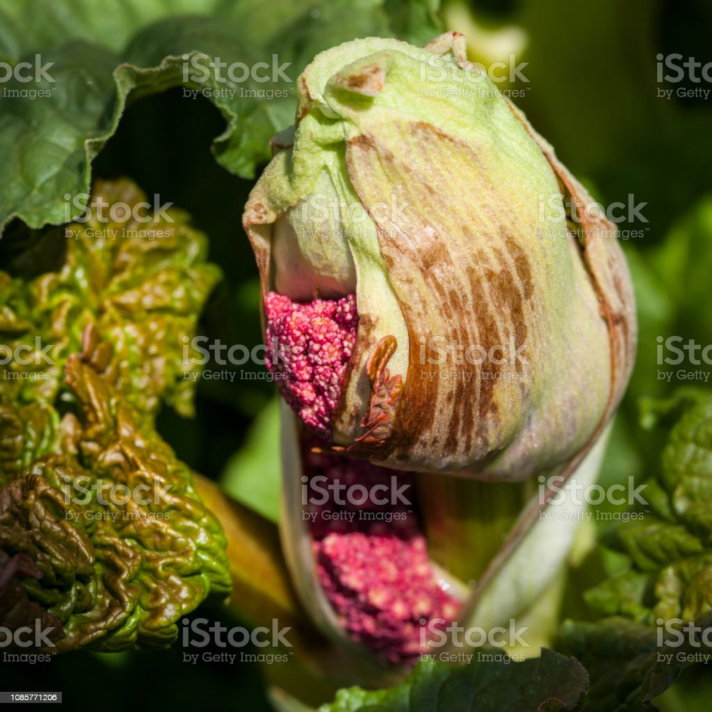 Que Faire Des Fleurs De Rhubarbe photo libre de droit de fleur de rhubarbe banque d'images et