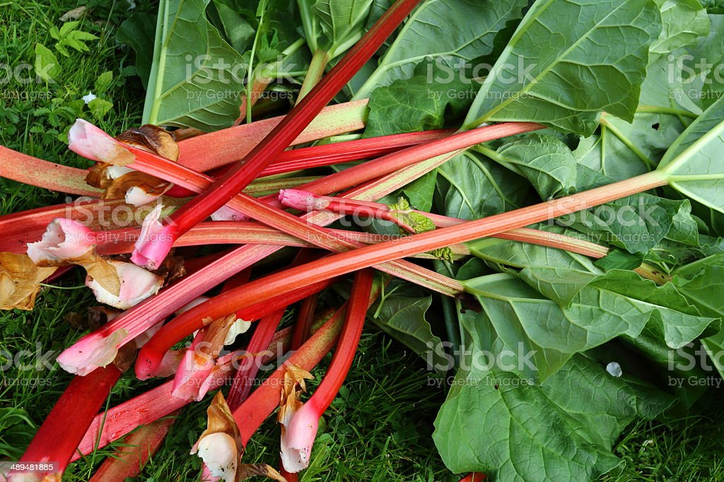 rhubarb freshly harvested at spring stock photo