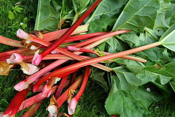 rhubarb freshly harvested at spring rhubarb freshly harvested pejft stock pictures, royalty-free photos & images