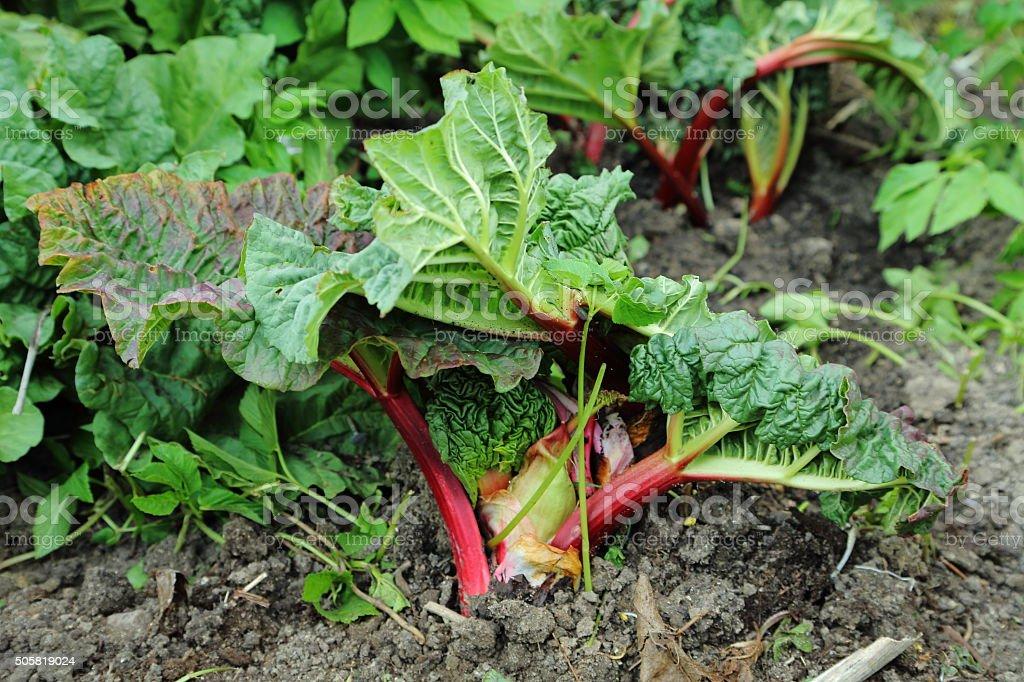 rhubarb tuber, rhizomes and petioles stock photo