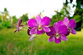 Rhynchostylis retusa ,beautiful  flower orchid popular for wedding in Thailand.