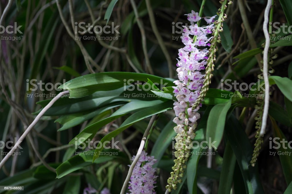 Rhynchostylis retusa in white and purple orchid. stock photo
