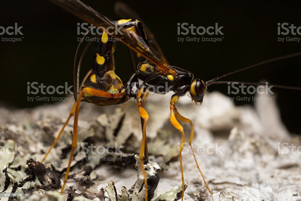 Rhyssa parasite wasp laying eggs in larva in birch wood stock photo
