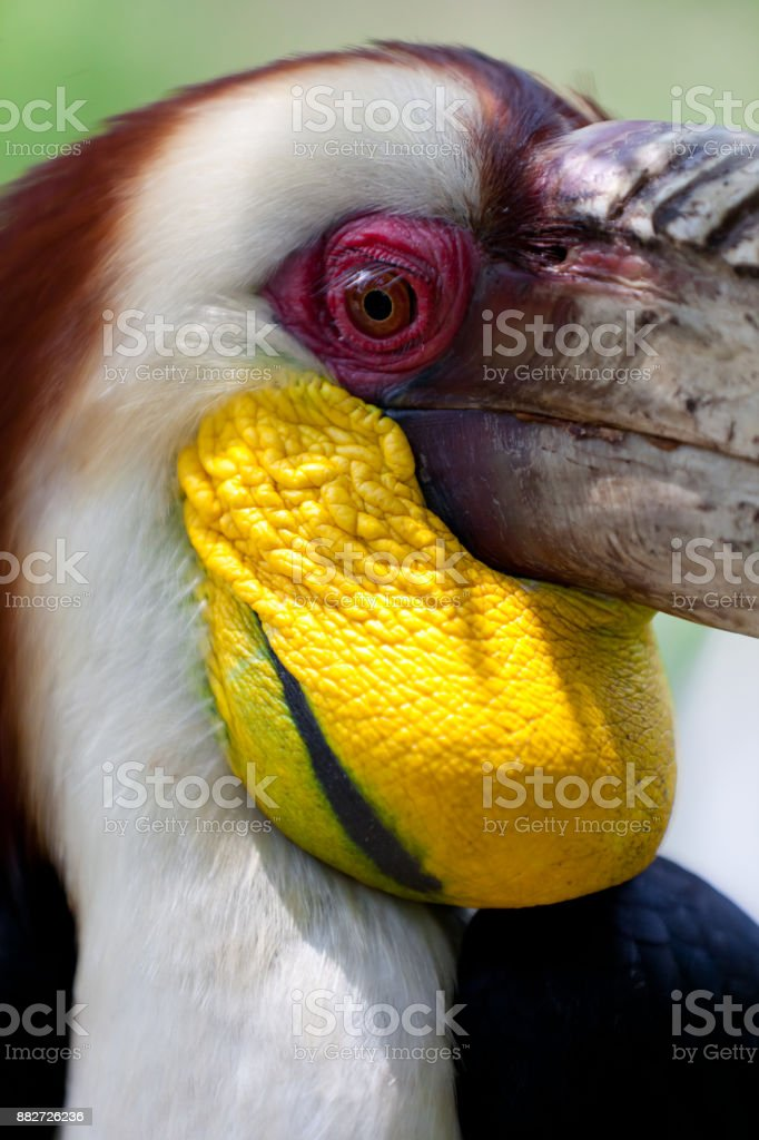 Rhyticeros undulatus - Hornbill stock photo
