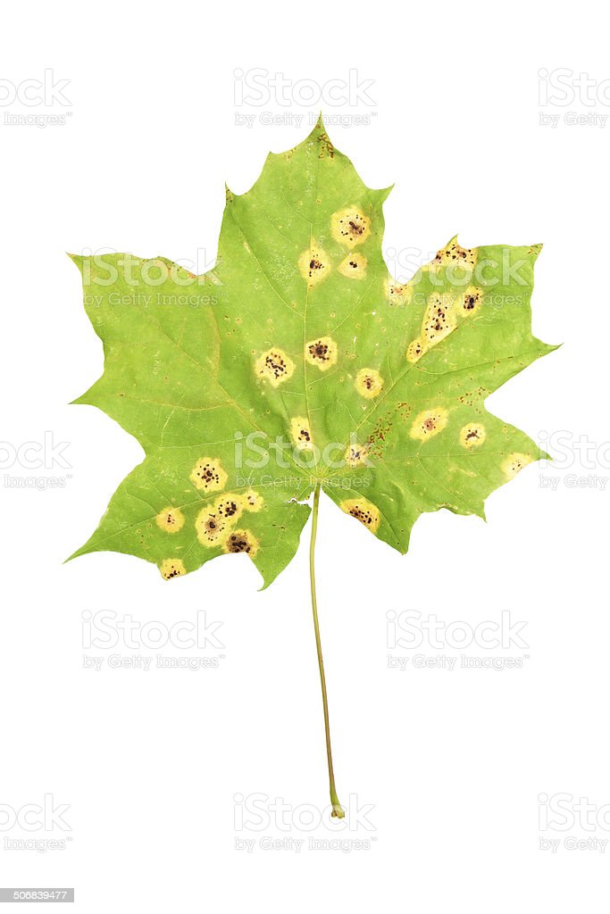 Rhytisma acerinum on maple leaf stock photo