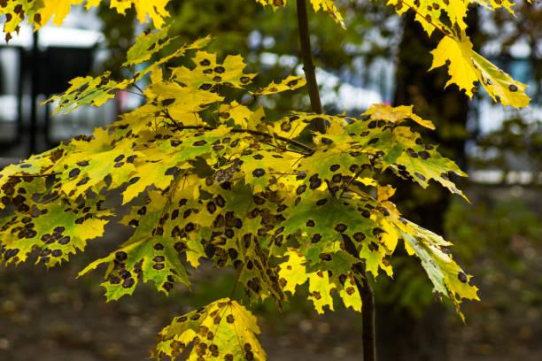 Rhytisma atserinum em maple Outono folhas. Folhas de bordo da doença. Folhas de maple outono - foto de acervo