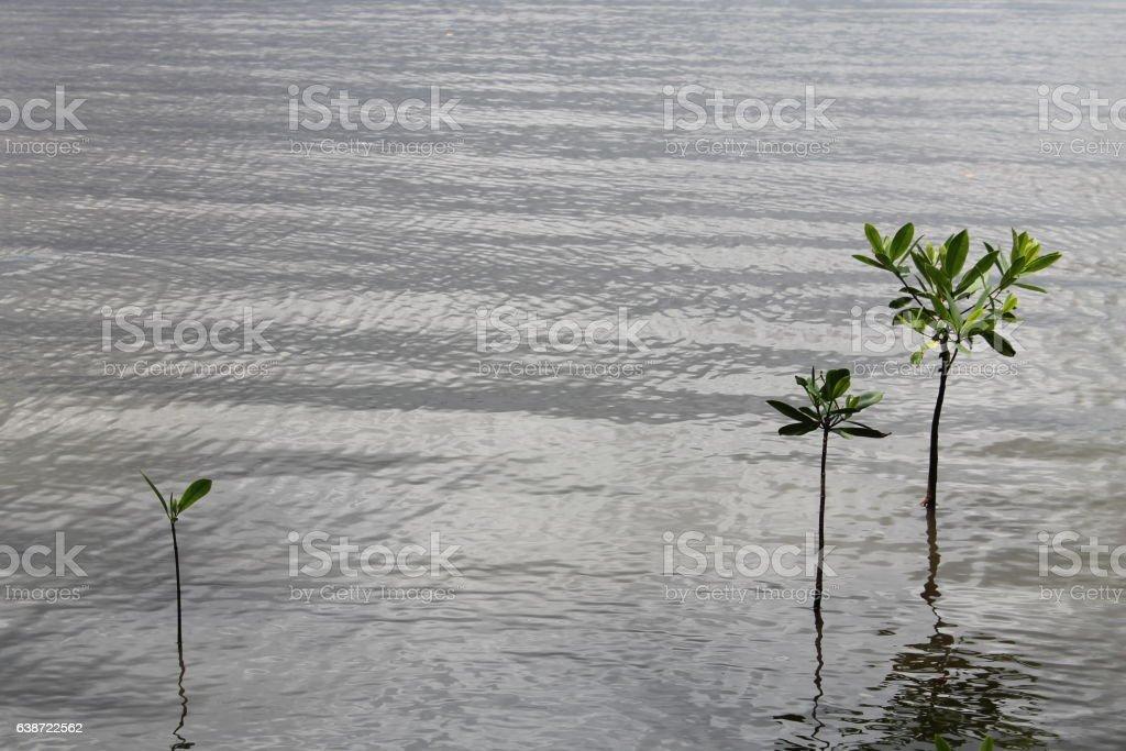 Rhyzophora mangle stock photo