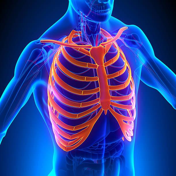 cage thoracique anatomie os avec système circulatoire - sternum photos et images de collection