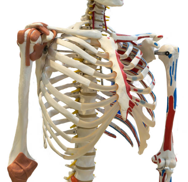 rib cage of a skeleton. isolated on white background with clipping path - medical diagrams stock pictures, royalty-free photos & images