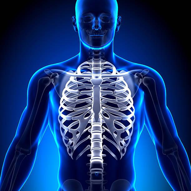 cage thoracique sternum-os anatomie - sternum photos et images de collection