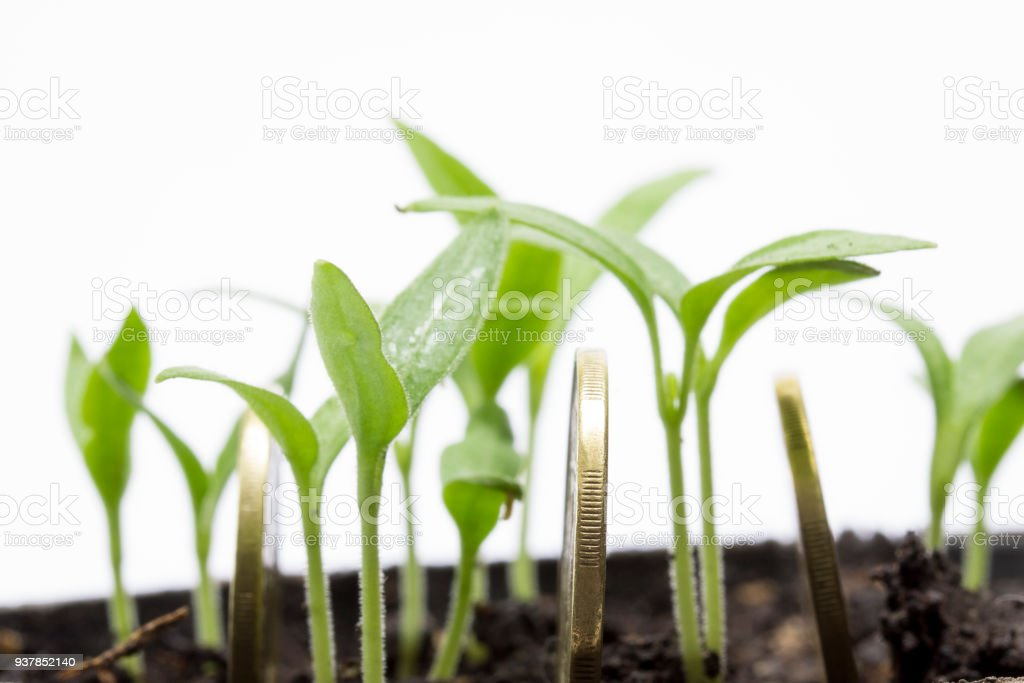rib of a bright coin closeup on a background of young eggplant sprouts stock photo