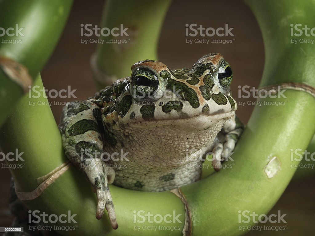 Ribbit-ribbit royalty-free stock photo