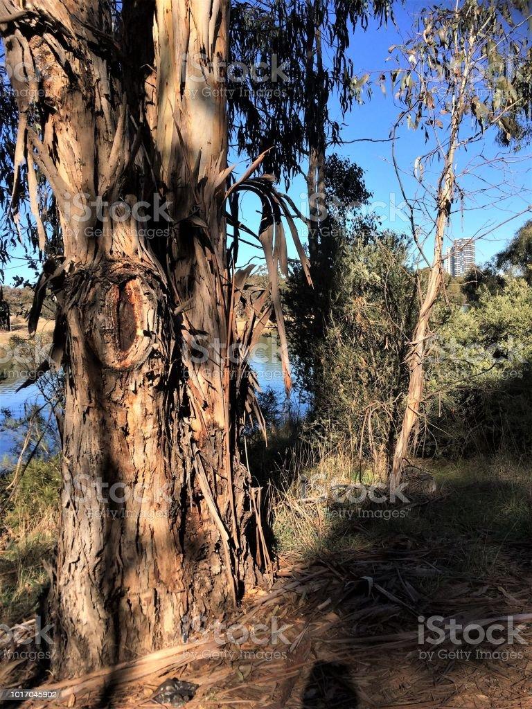 Ribbon gum tree by a lake stock photo