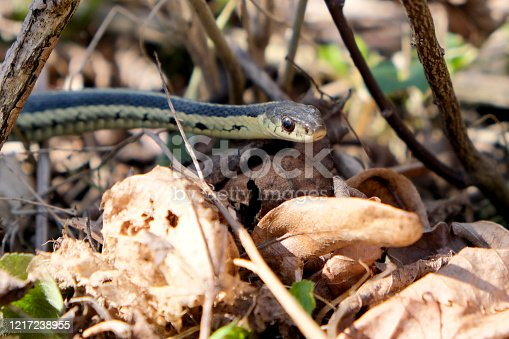 A Garter snake on the humber river area conservation in toronto