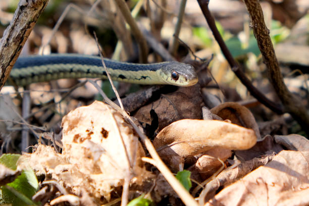 Ribbon Snake stock photo
