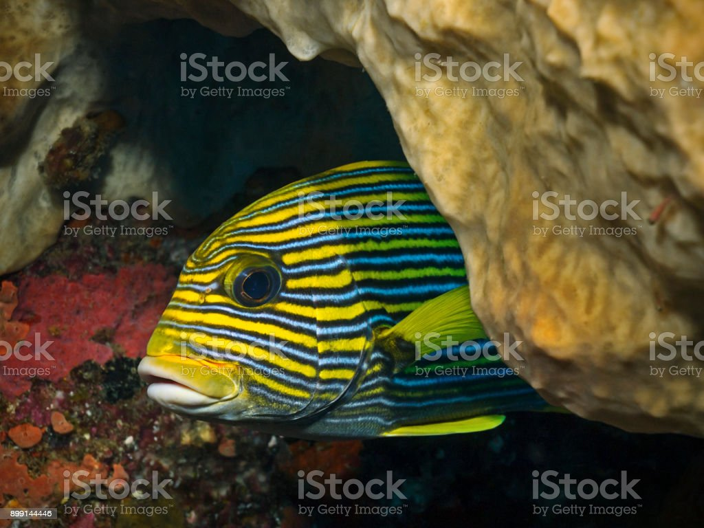 Ribbon Sweetlips, Goldband Süsslippe (Plectorhinchus polytaenia) stock photo