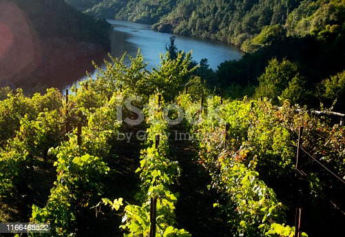 Ribeira sacra vineyard, Miño river at dusk in autumn time. Wine making area in Ourense and Lugo provinces, Galicia, Spain.