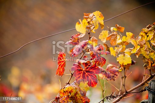 Ribeira sacra yellow leaved vineyard in Autumn time. Vine branch and leaves in the foreground, Sil river and terraced vineyards in the background. Lugo and Ourense provinces  Galicia, Spain.