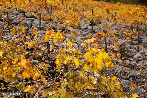 Ribeira sacra yellow leaved terraced vineyard in Autumn time. Lugo and Ourense provinces  Galicia, Spain.
