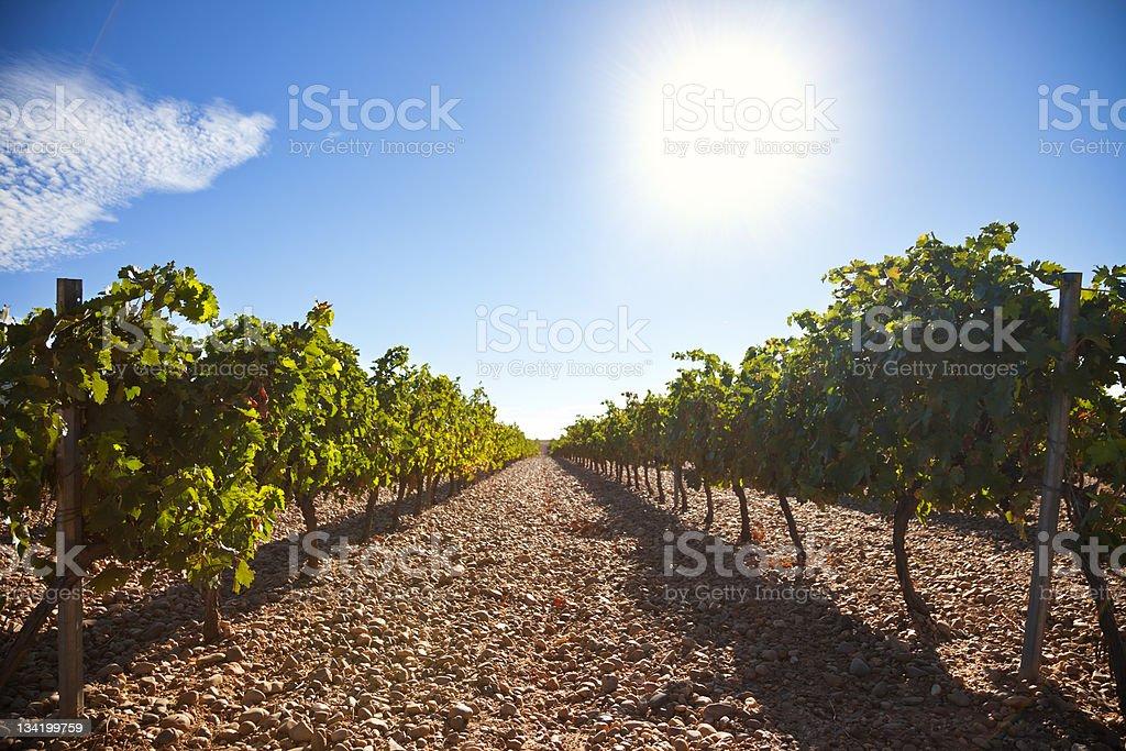 Ribera del Duero vineyard royalty-free stock photo